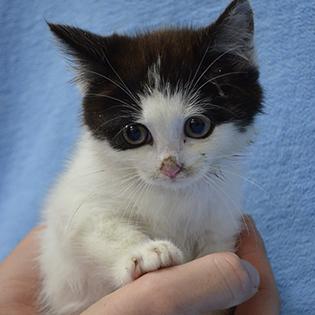 Hands holding small kitten